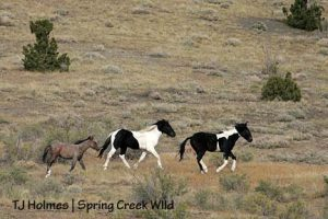 Spring Creek Basin Mustangs